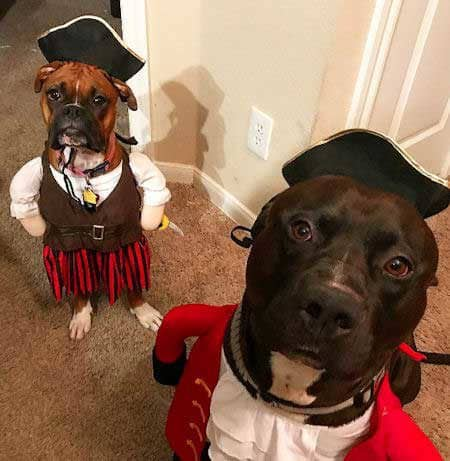 Two funny dogs dressed as pirates in Funny Dog Halloween Costumes