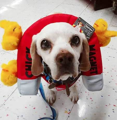 Dog dressed as chick magnet in Funny Dog Halloween Costumes