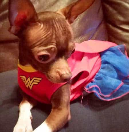 little dog dressed up as Wonder Woman in Funny Dog Halloween Costumes