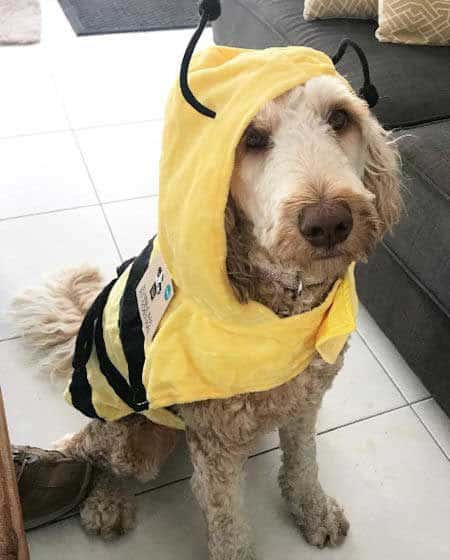 Bumble Bee dog costume in Funny Dog Halloween Costumes