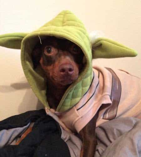 little dog dressed as Yoda in Funny Dog Halloween Costumes