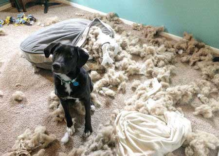 canine destroys bed