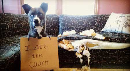 Dog Bed Destruction!funny dog picture of a canine who destroyed a sofa