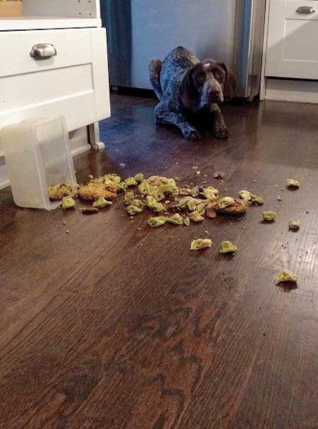 Crazy Dog who spills food all over the place from counter surfing