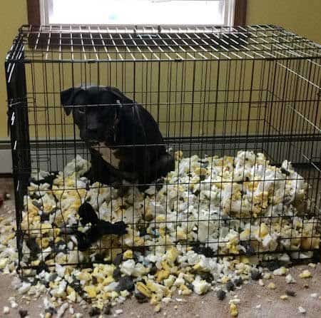 Crazy Dog in crate with destroyed bed