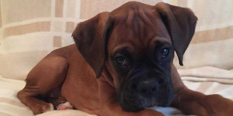 Puppy Picture of a boxer for puppies