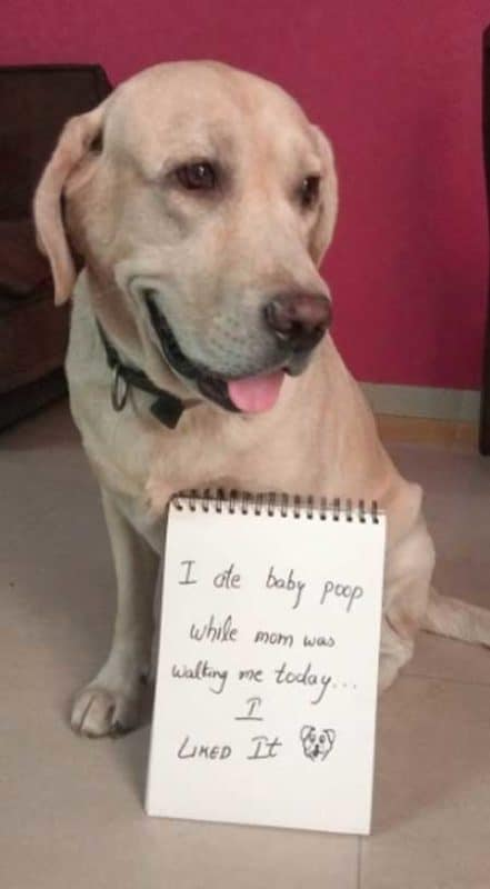 Dog Shaming picture of a yellow lab that ate baby poop :(