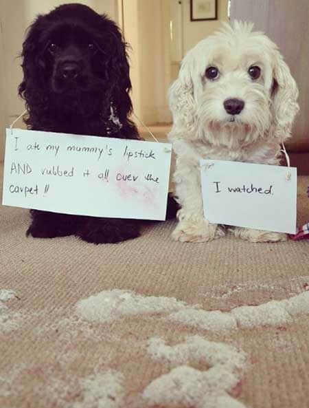 Dog Shaming picture of two funny dogs that rubbed lipstick all over the place