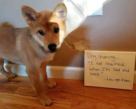Dog Shaming pic of a little pooch that ate the drywall