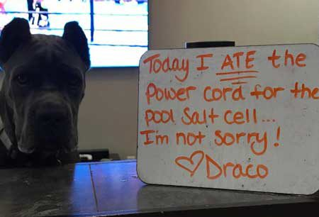 funny Dog Shaming pics of Draco that ate the power chord for the salt cell for the pool