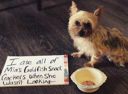 small pooch getting shamed for eating his sisters goldfish