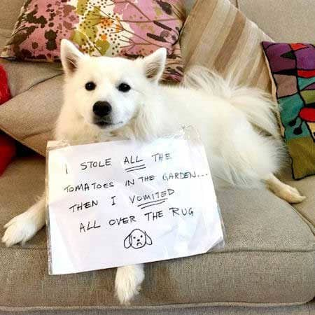 dogshaming picture of a white dog that ate the tomatoes then puked