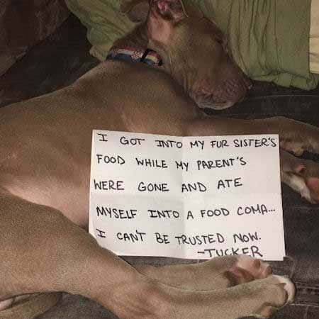 big dog that stole food and fell asleep