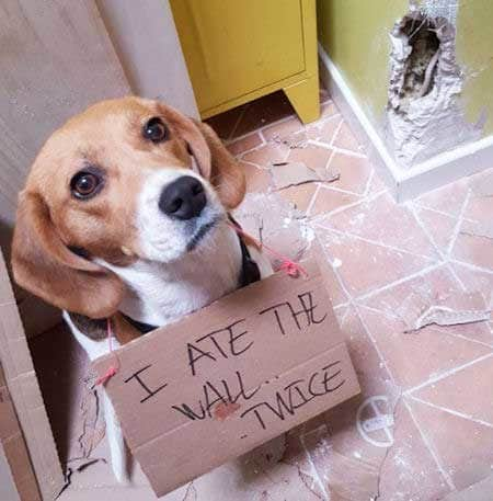 beagle being shamed for eating the wall
