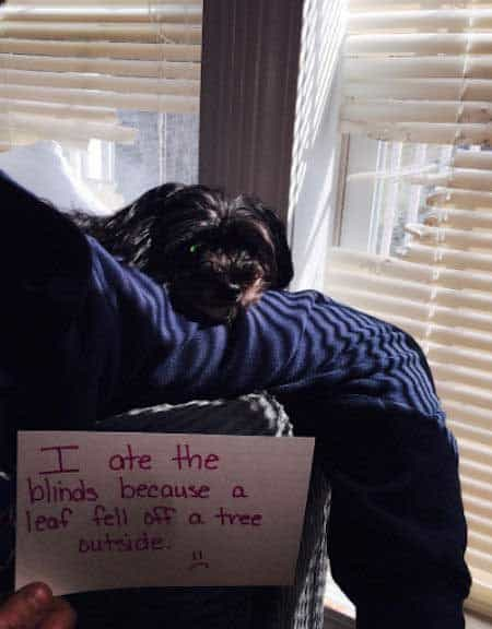 dogshaming a pooch that ate the blinds
