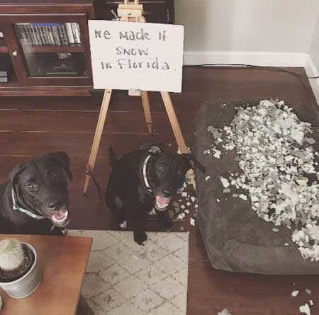 Labrador dog shaming of a lab for tearing up a pillow