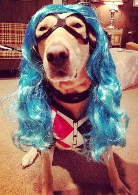 Dog Halloween Costumes with a Lab dressed as a harley quinn for halloween