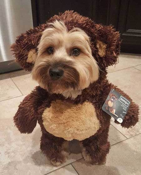 Dog Halloween Costumes with a pooch dressed as a teddy bear for halloween
