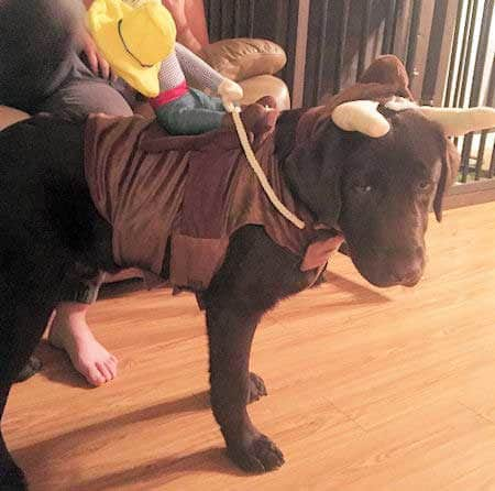 Dog Halloween Costumes with a Lab dressed as a bull for halloween