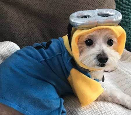 Funny Dog in a minion Halloween costume