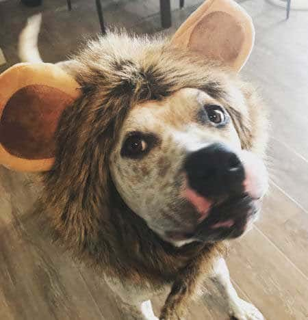 Funny Dog in a lion Halloween costume
