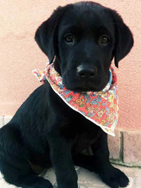 Black Labrador with a handkerchief around their neck