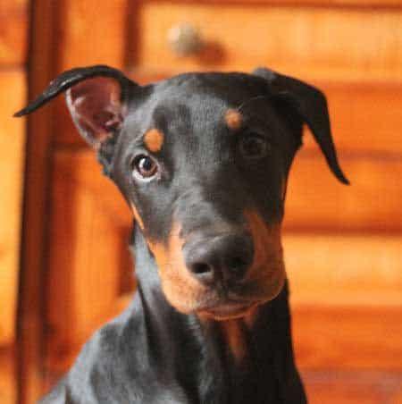 Doberman puppy staring at the camera