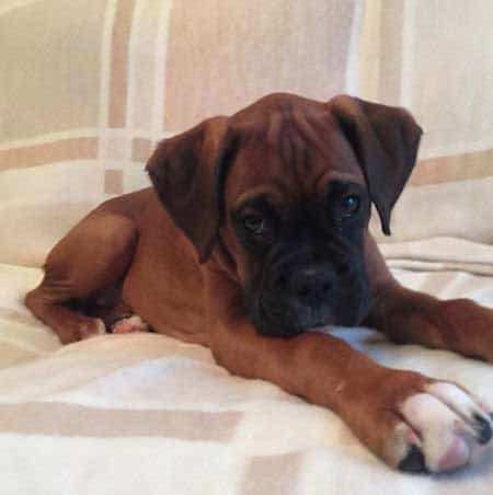 Cute Boxer puppy sitting on the sofa