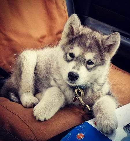 An Alaskan Malamute puppy with a head tilt