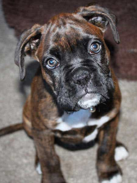Boxer puppy staring at the camera