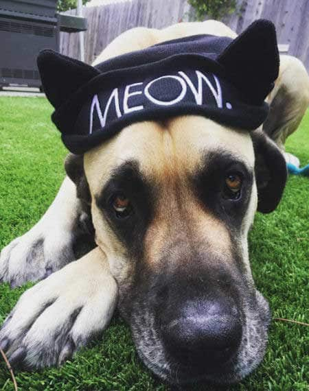 Awesome canine in a dog Halloween costume dressed as a cat
