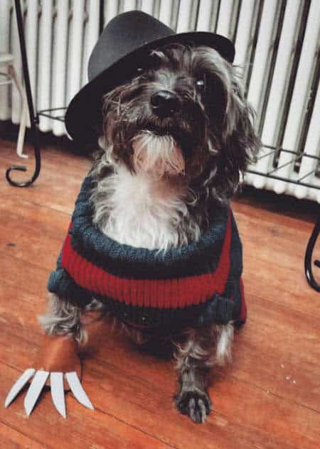 Awesome canine in a dog Halloween costume Freddy Krugar