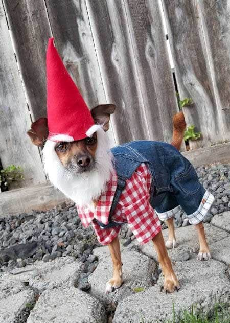 Awesome canine in a dog Halloween costume a garden gnome
