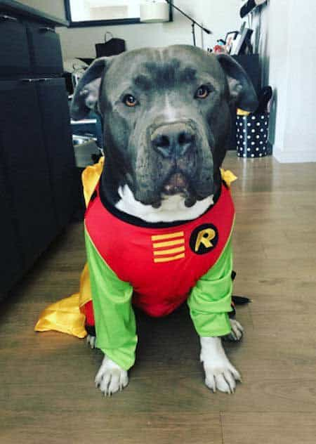 Awesome canine in a dog Halloween costume Robin