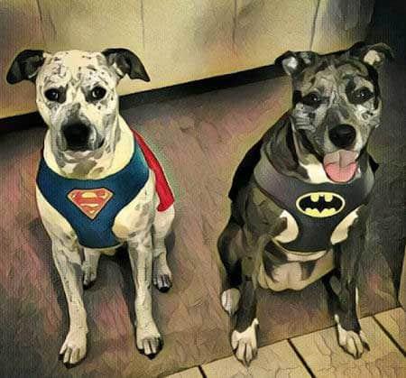 Halloween Dog Costume superman and batman