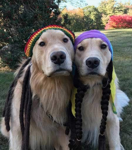 Halloween Dog Costume two funny dogs dressed as rastas