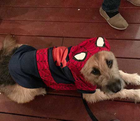 funny dogs dressed in costumes with a dog in a Costume of spider-dog