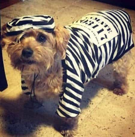 funny dogs dressed in costumes with Scooter the dog dressed as a convict for Halloween