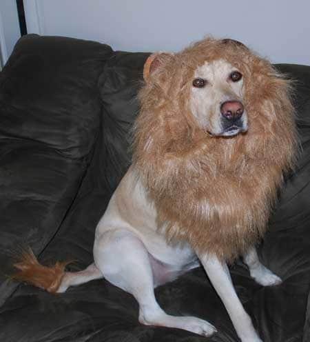 Labrador dressed up as the Lion