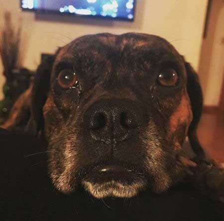 sad faced dog begging
