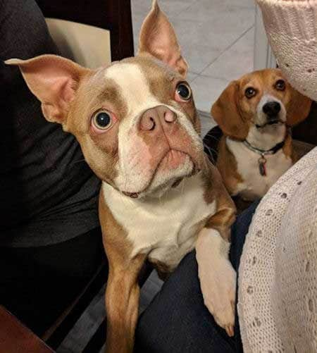 Two funny begging dogs