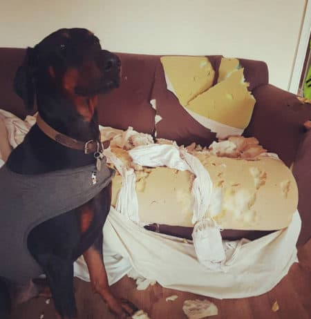 Funny dog destroyed a sofa