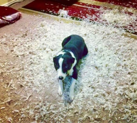 funny dog picture of canine sitting in the mess he created with a feather pillow