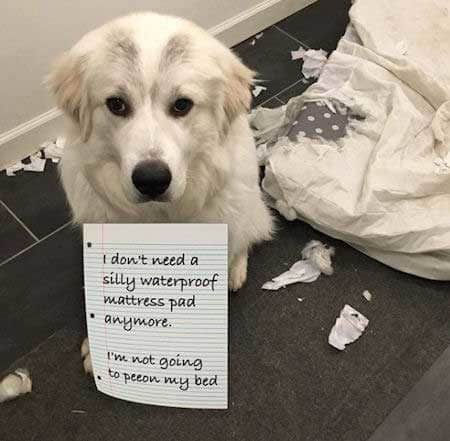 cool dog getting the shaming for eating a mattress pad