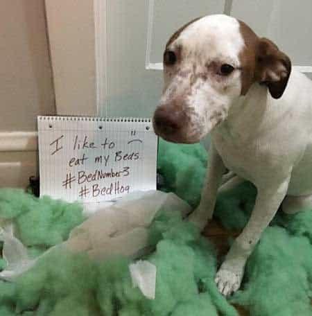 funny dog gets shamed for eating bed