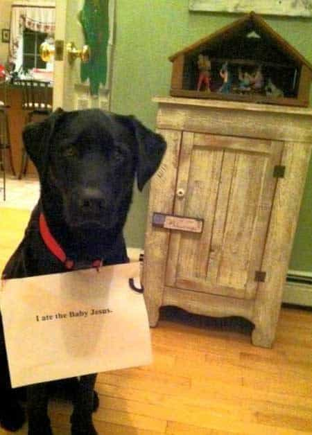 Christmas Dog Shaming Labrador eats Jesus
