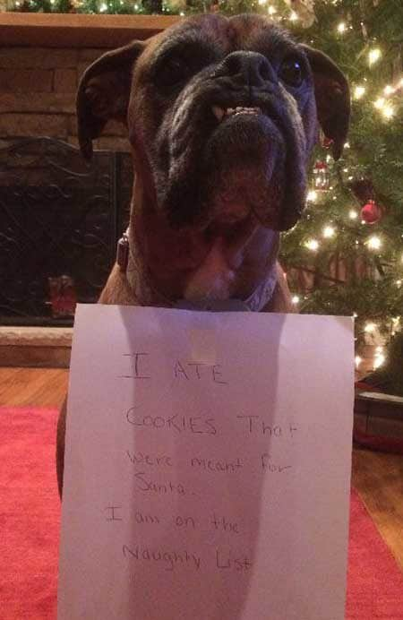 Christmas Dog Shaming canine ends up on the naughty list for eating cookies