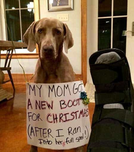Christmas Dog Shaming Canine breaks mom's foot