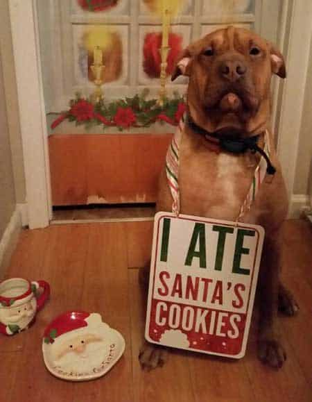 Christmas Dog Shaming He ate Santa's cookies