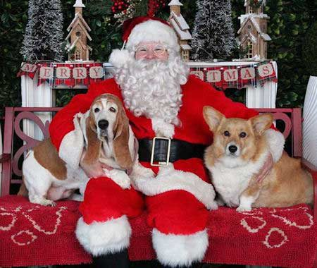 Santa Paws pictures 2 dogs with Santa Claus corgi and hound